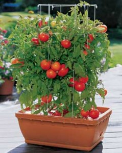 planter-tomatoes for home garden